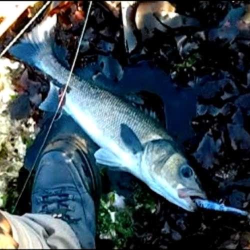 63cm Bass Caught on the Autowalker